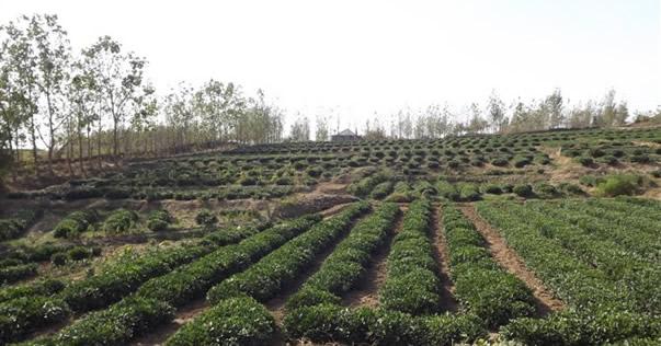 日照绿茶茶园